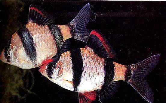 Картинки по запросу Barbus (Capoeta) tetrazona